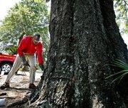 formosan termites infesting live tree