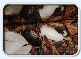 """Molted albino roach and """"Palmetto Bug"""""""