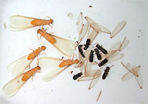 formosan vs eastern sub swarmer