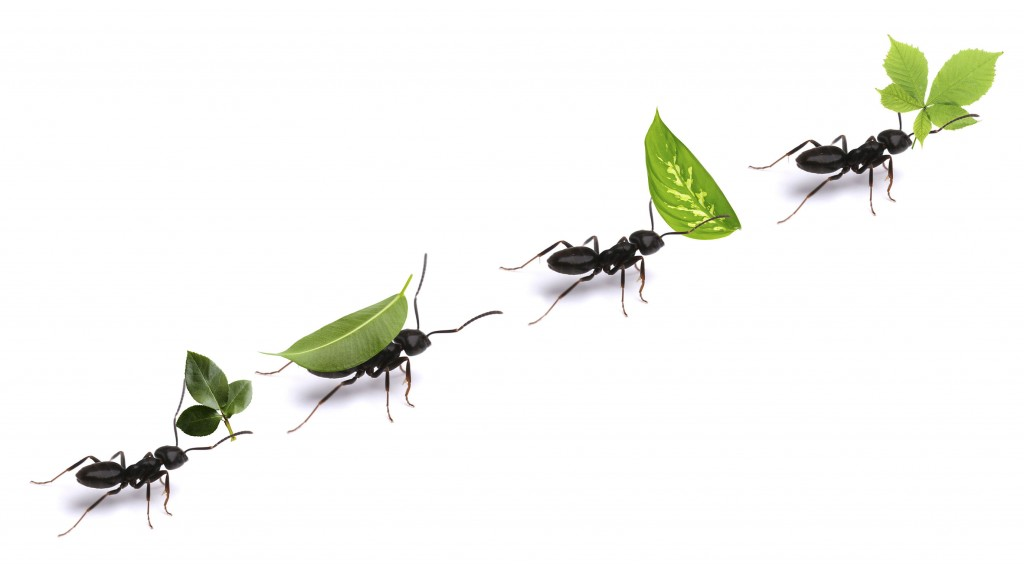52504848 - small ants carrying green leaves, isolated on white.