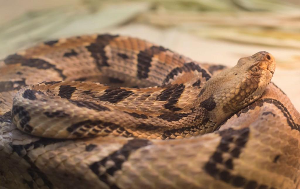 Timber rattlesnake or canebrake rattlesnake