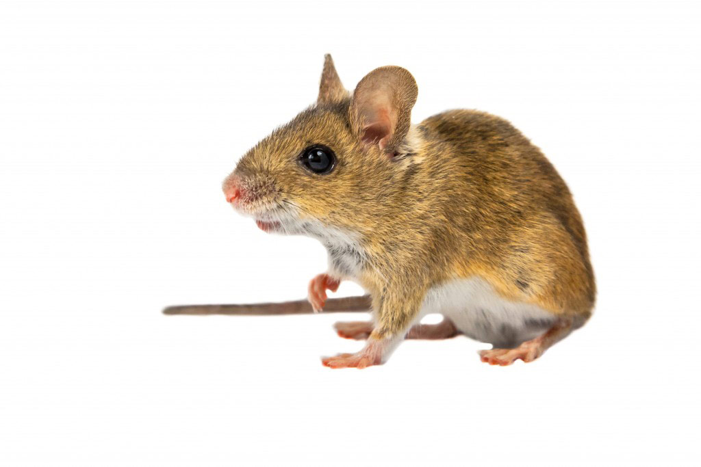 house-mouse-1024x683