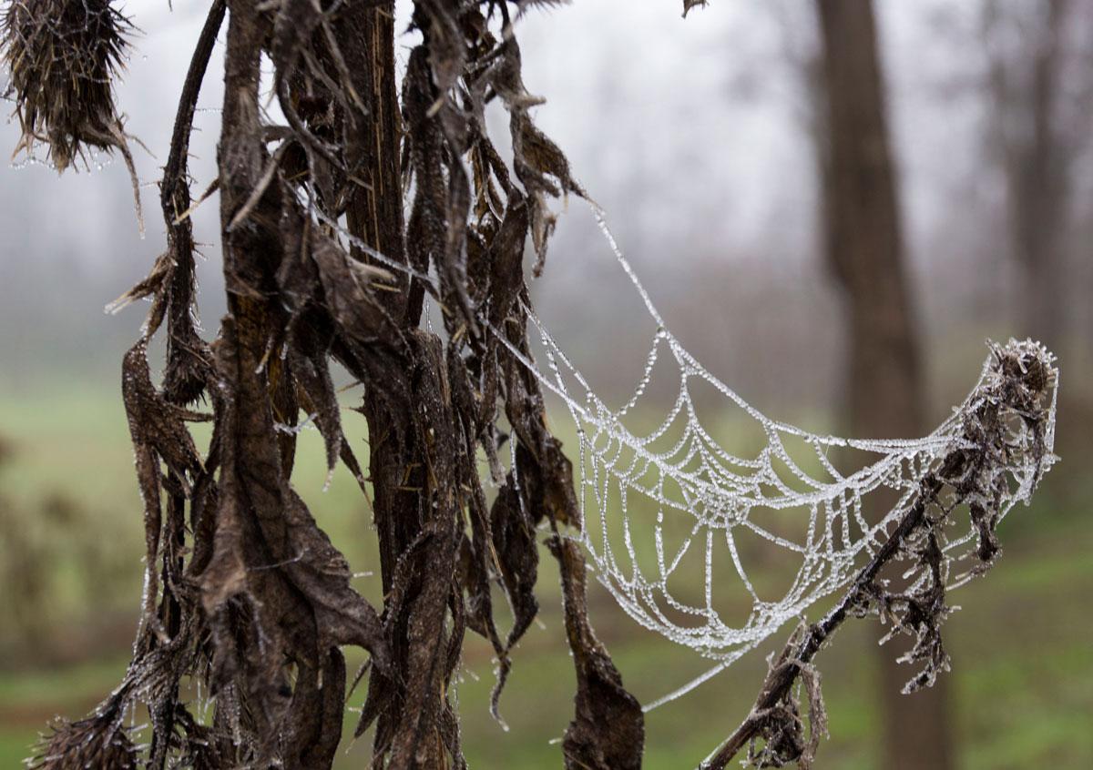 spiderweb in winter