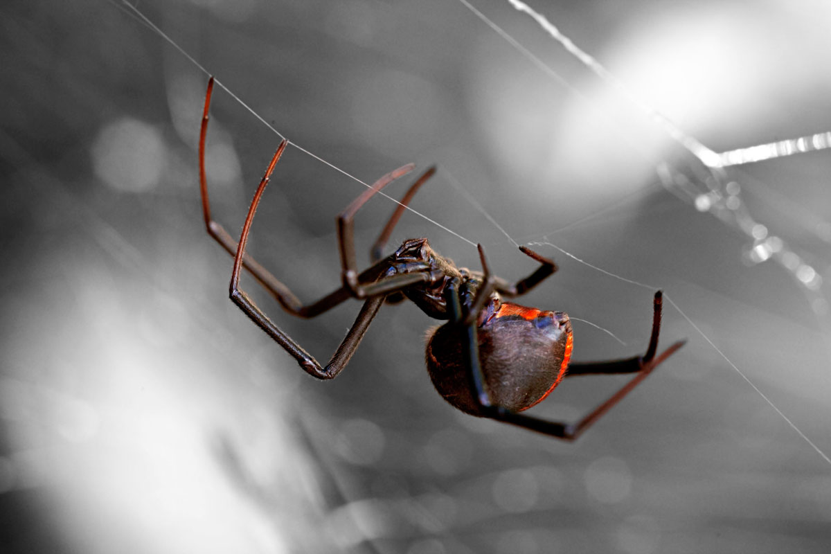 Black Widow and Brown Widow Spiders