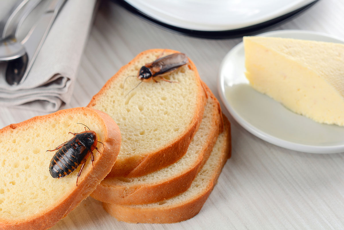 cockroaches on pieces of bread in the kitchen