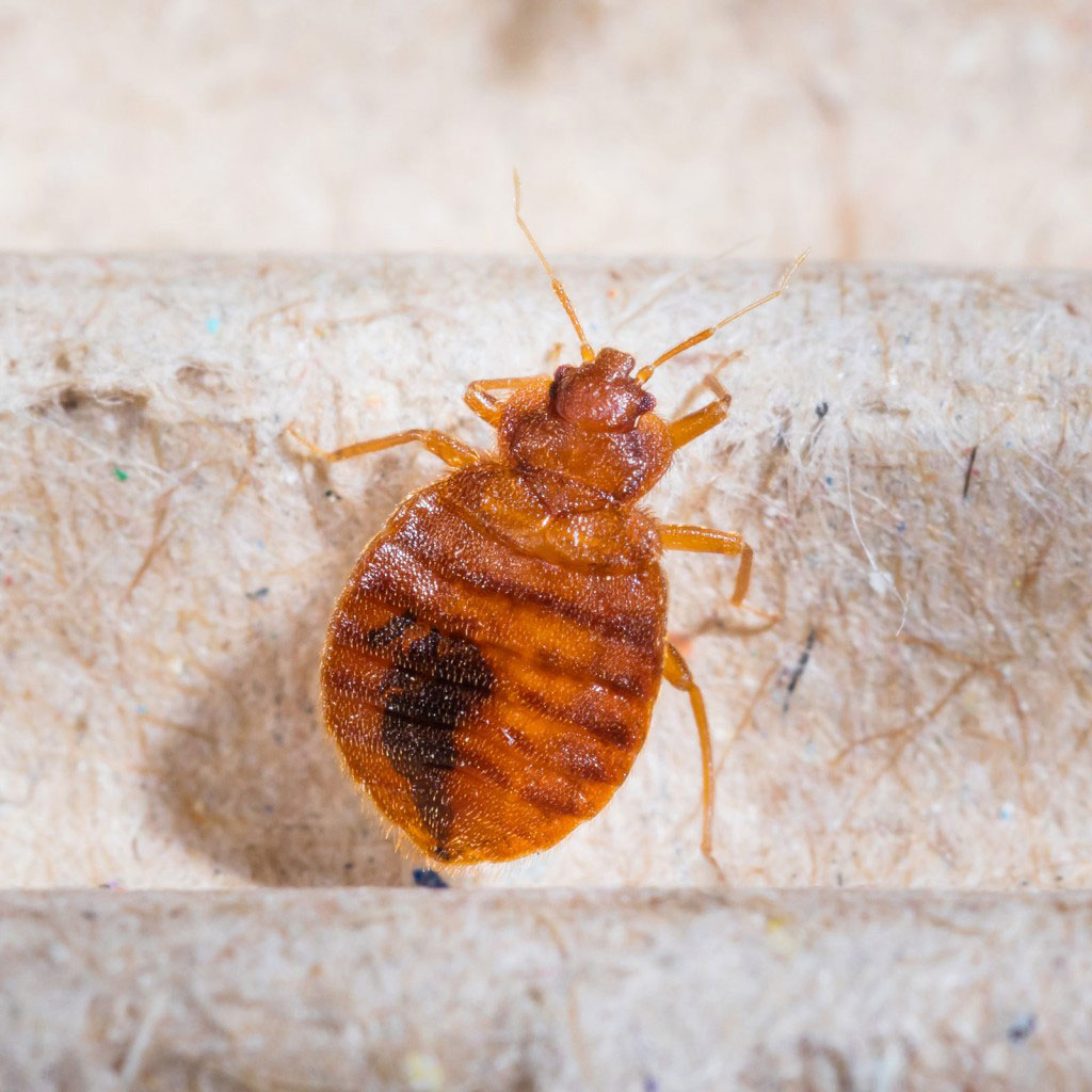 bed bug against fibrous background