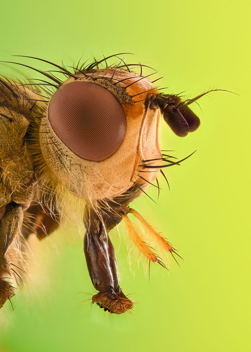 macro image of fruit flies