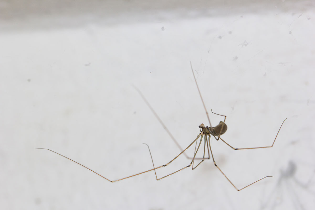 cellar spiders on a white background