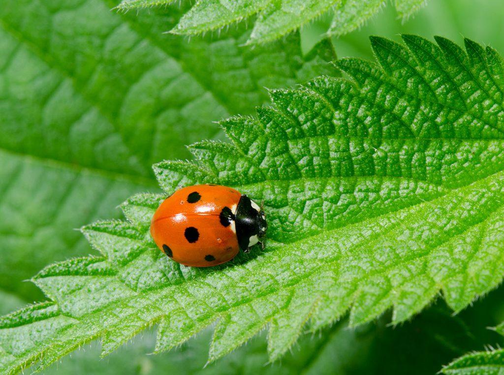 a ladybug, one natural method of pest control