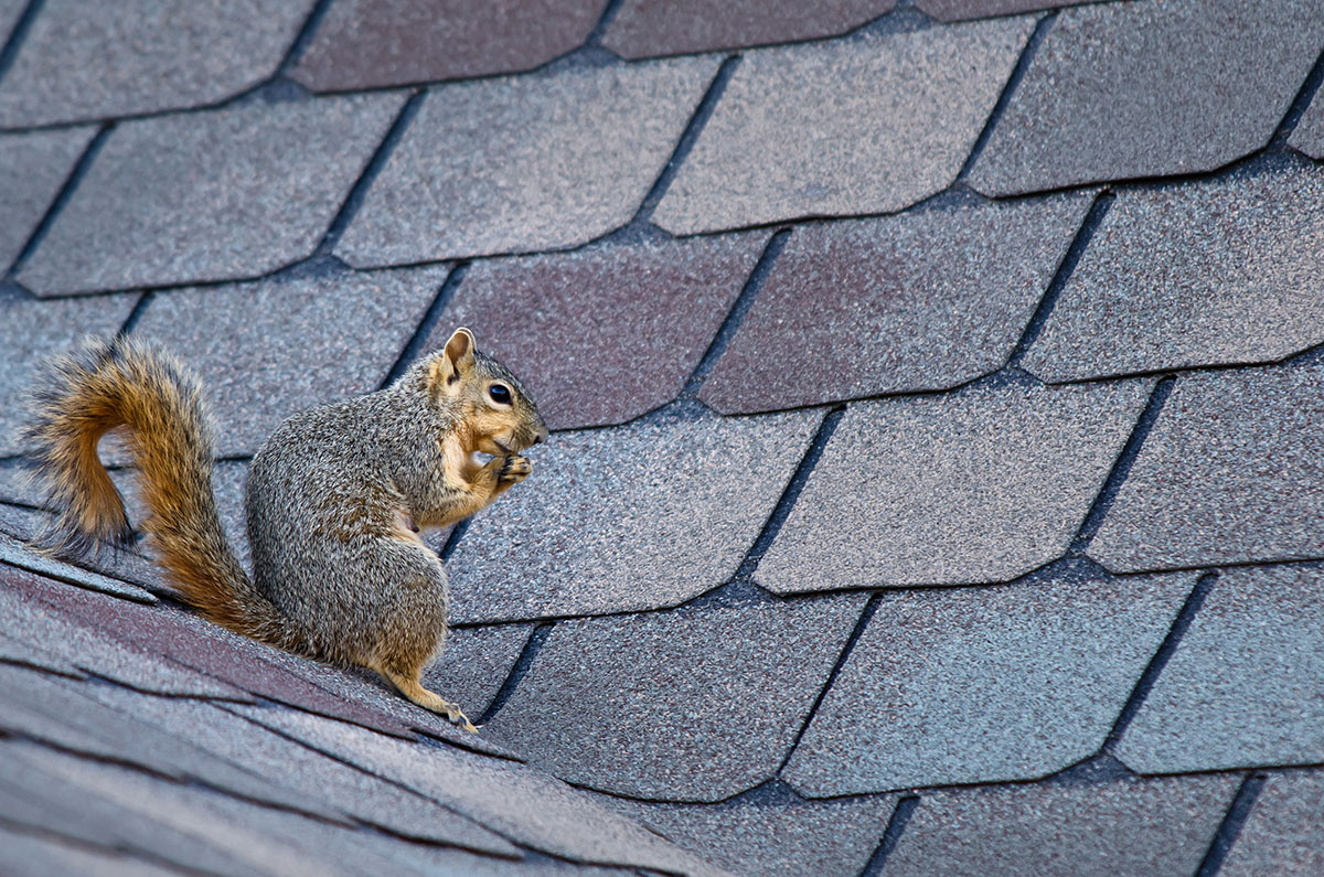 gray squirrel on the roof