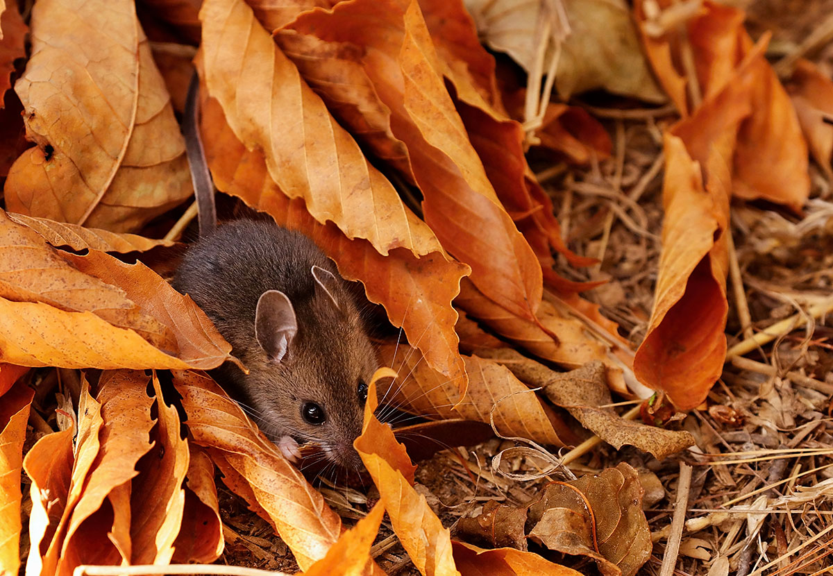 mouse in a leaf pile