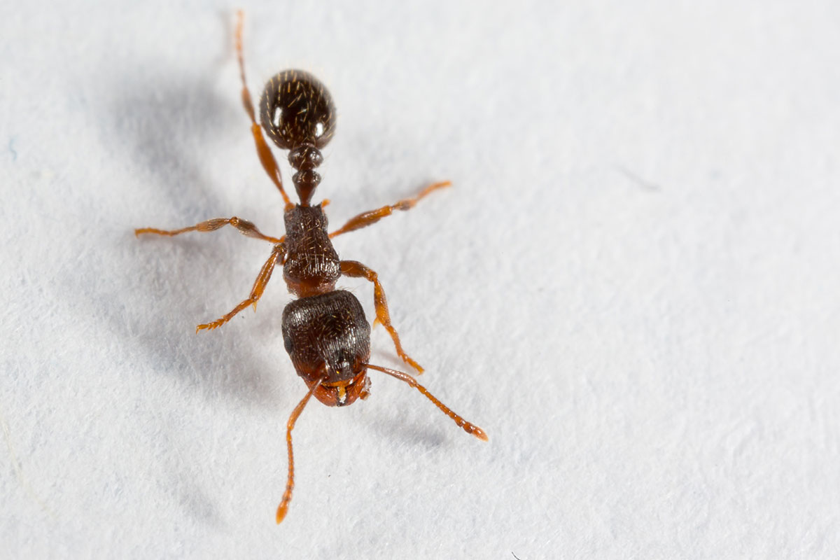 Pavement ant on white background