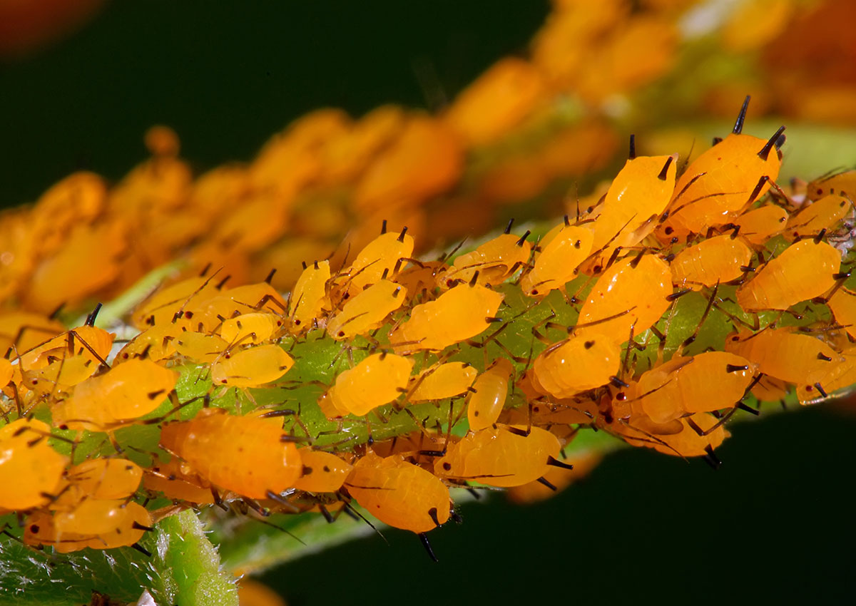 orange aphids crawling on a plant