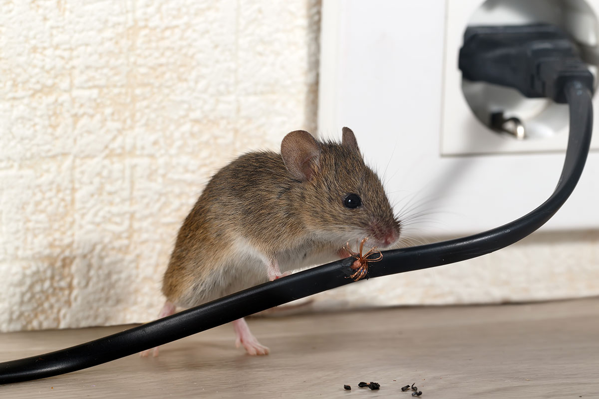 house mouse chewing on an electrical cord