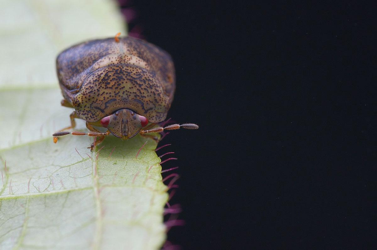 kudzu bug on a leaf