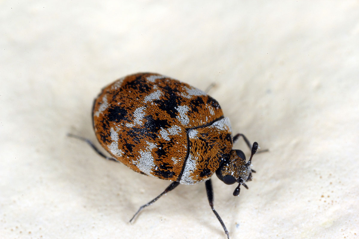 carpet beetle on a white surface