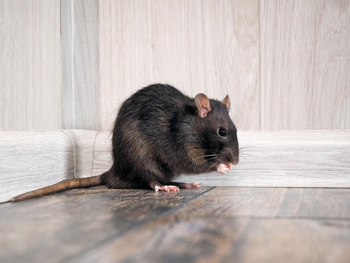 large brown rat indoors