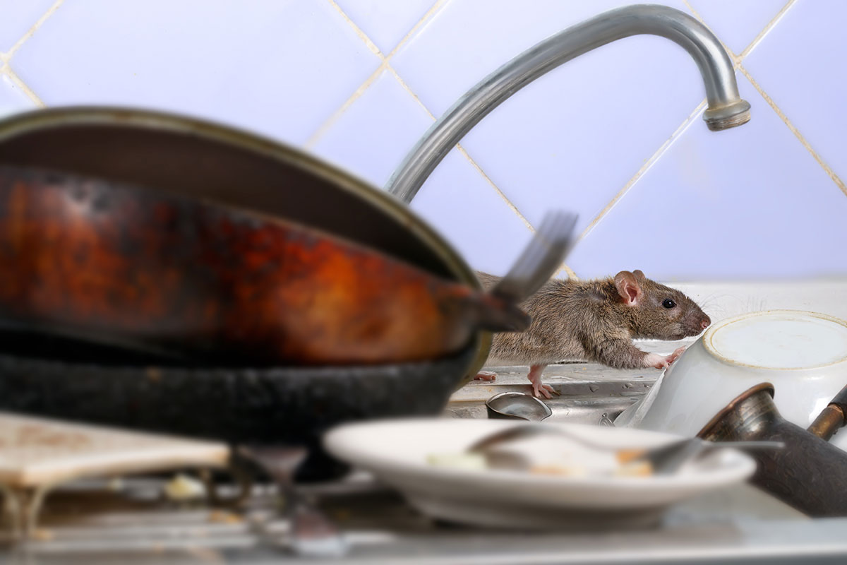rat walking around on dirty dishes in the kitchen