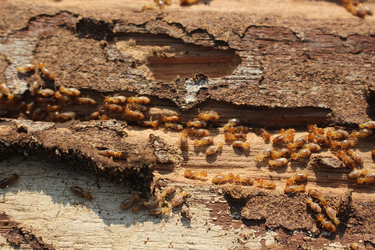 termite colony in a home