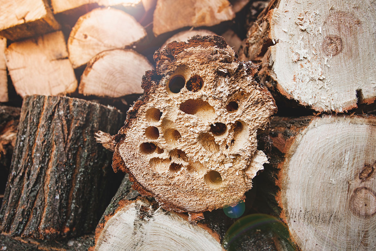 woodboring beetles in firewood