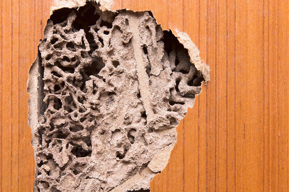 termite damage inside a wall