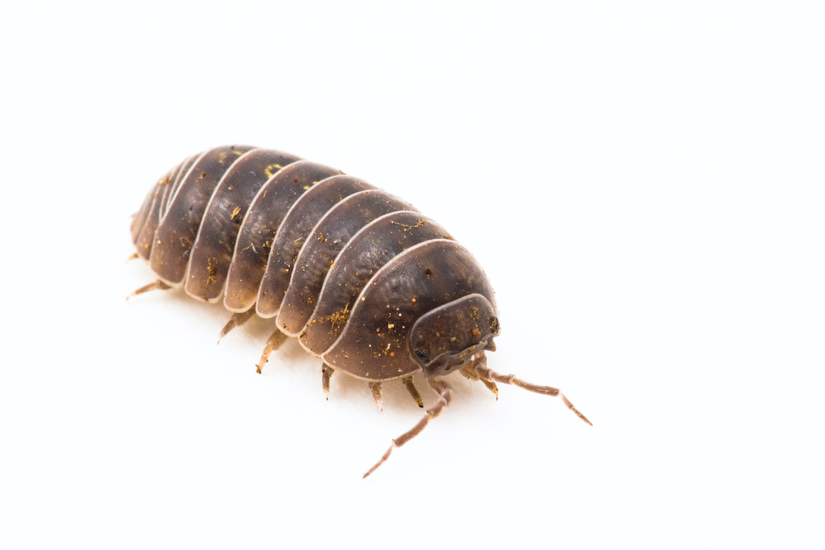 pill bug pest exterminators