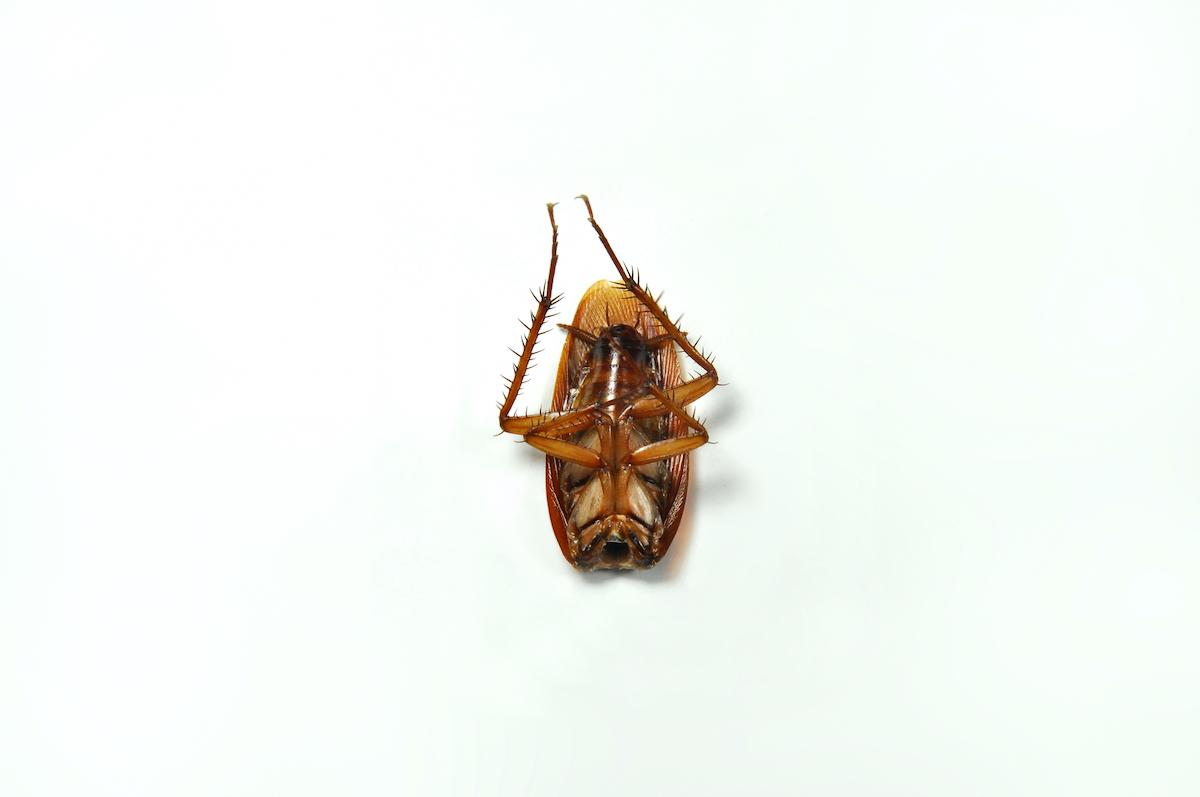 headless-cockroach
