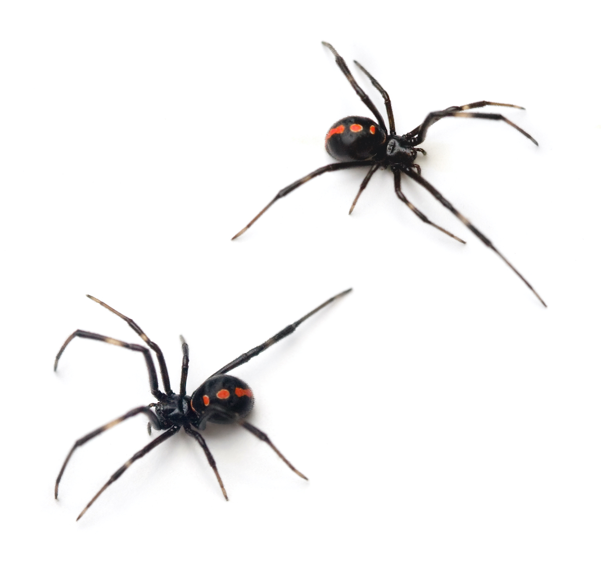 black-widow-spiders