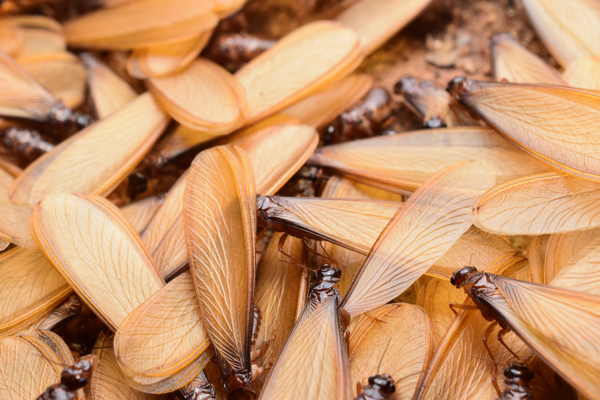 formosan-termite-swarmer