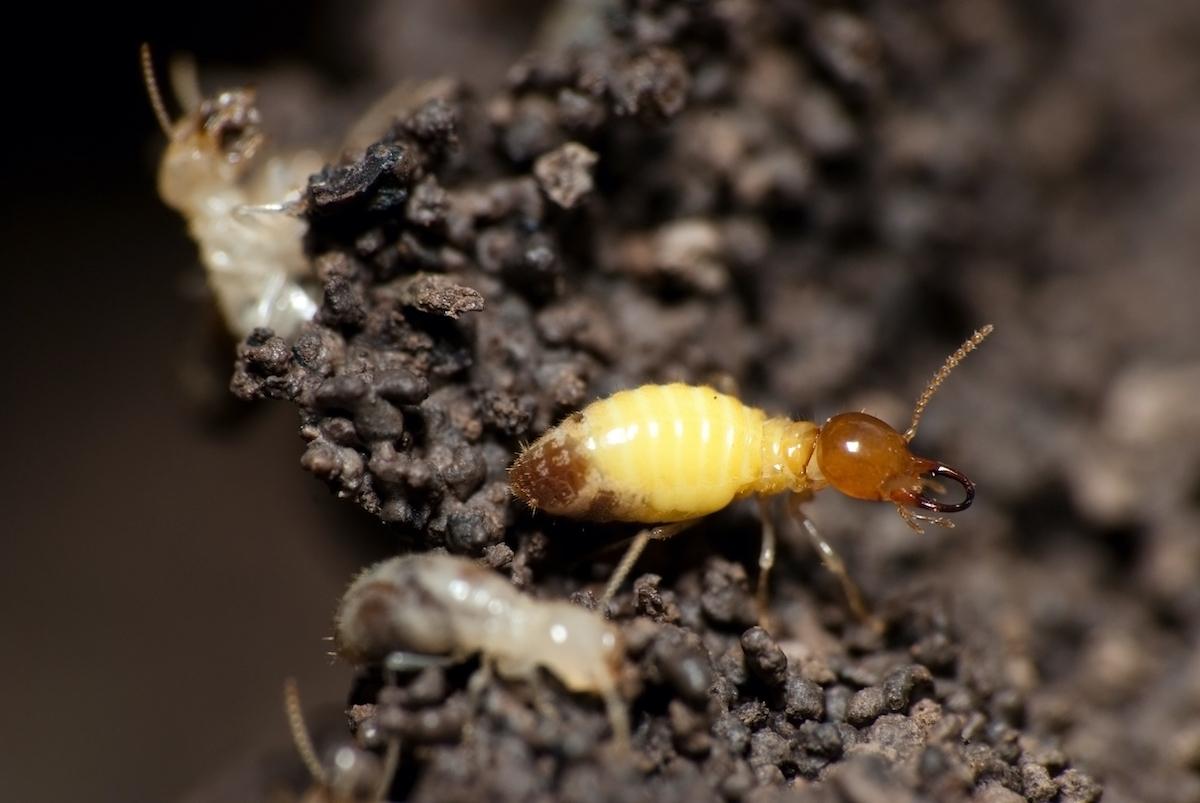 termite-swarming-season-service