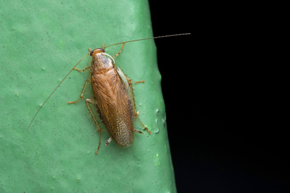 asian cockroach pest library