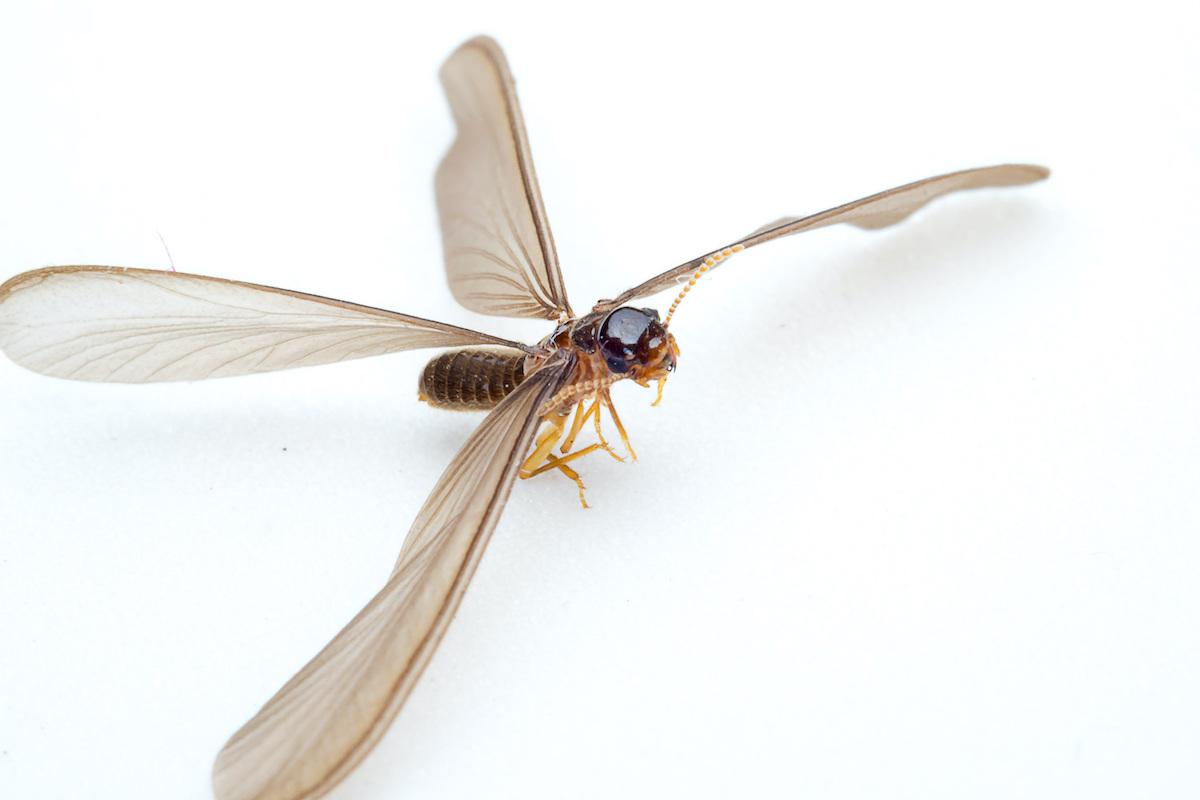 Termite Swarmer during Termite Swarming Season