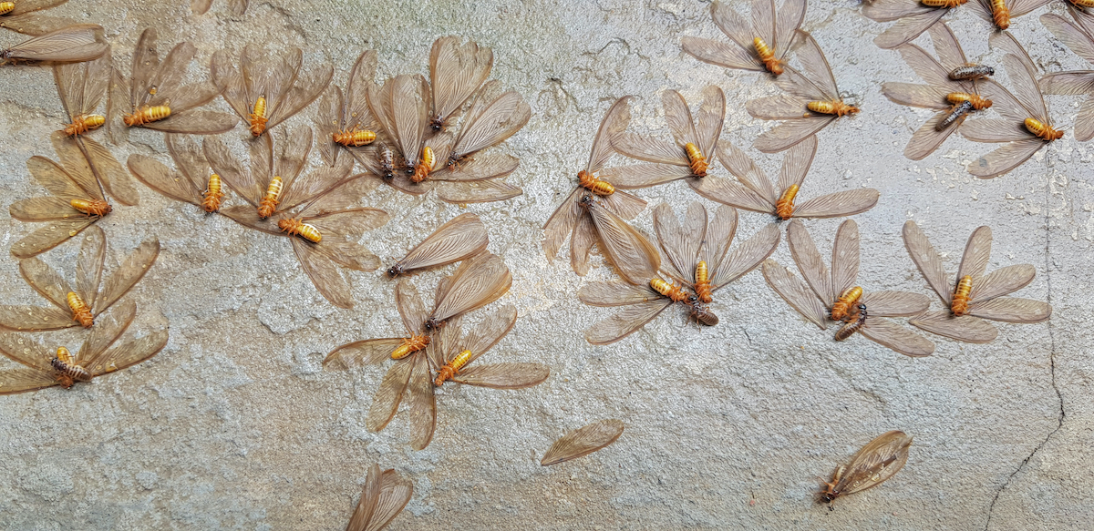 Termite Swarmers With Wings