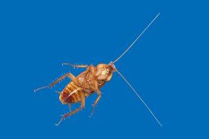 Cockroach/Palmetto Bug - Palmetto Exterminators