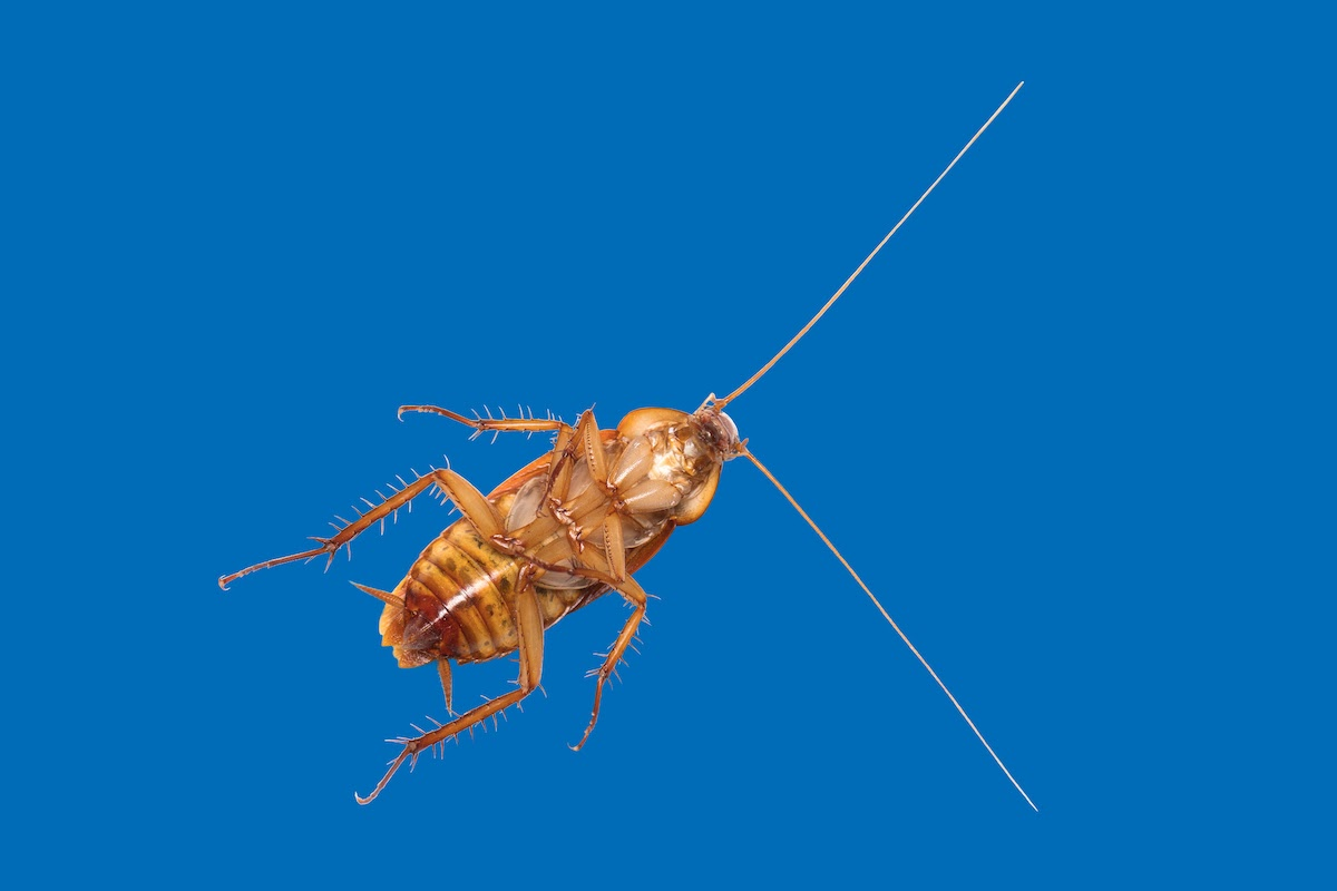 Image of the underbelly of a brown Palmetto bug over a blue background