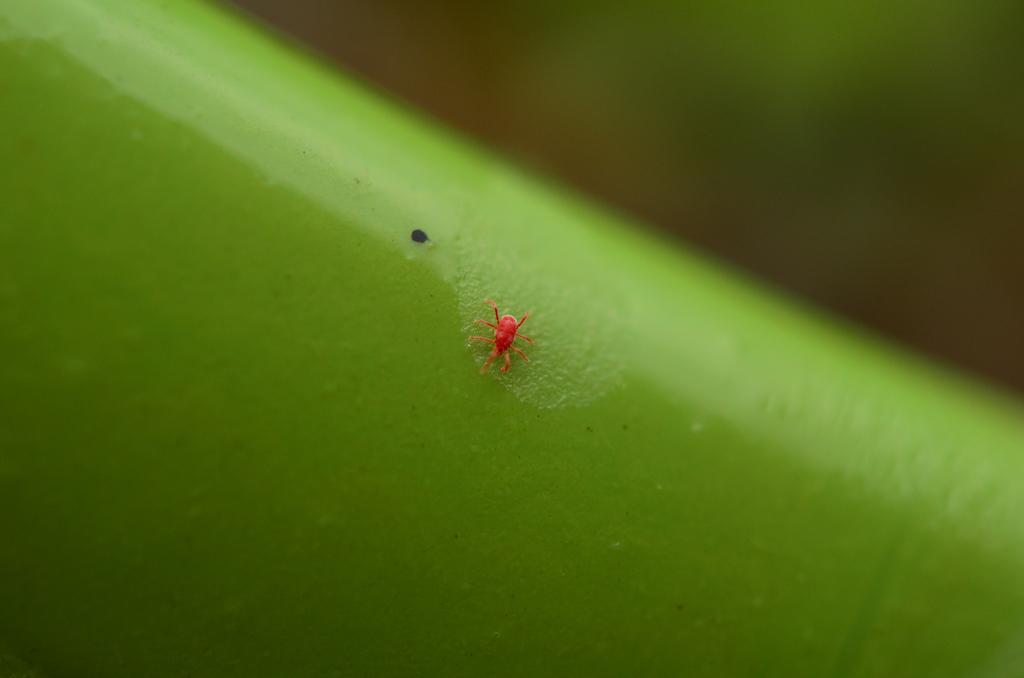 Small chigger bug